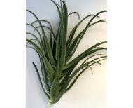Foglie di Aloe in porzioni di 1kg.