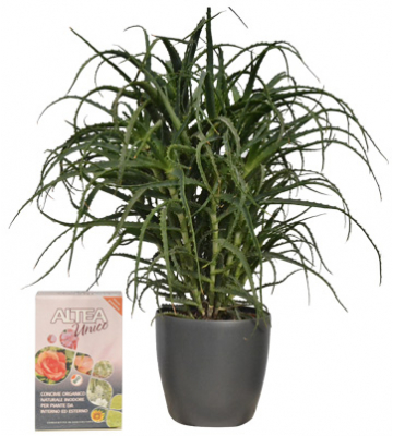 Pianta Aloe Arborescens + concime