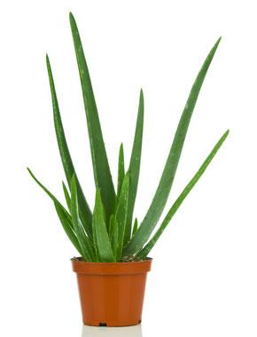Vendita piante Aloe Vera (Barbadensis) e Arborescens