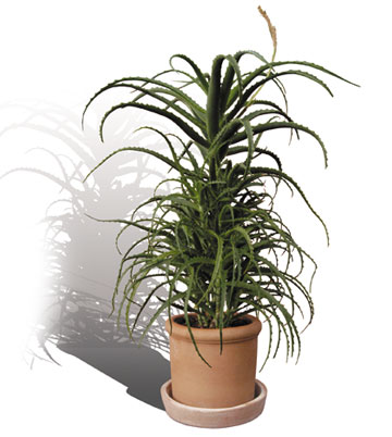 Pianta di Aloe Arborescens