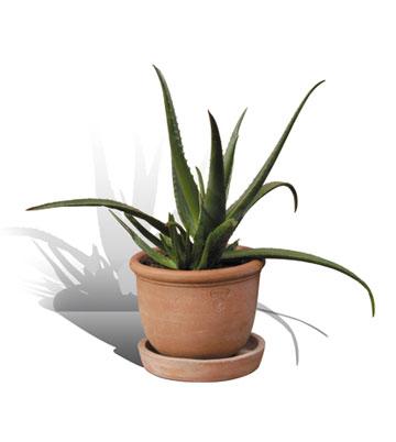 Pianta di Aloe Vera (Barbadensis)