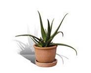 Pianta di Aloe Barbadensis